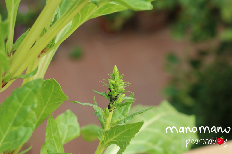 thehandymano mano plant pests how to prevent them plant bacteria